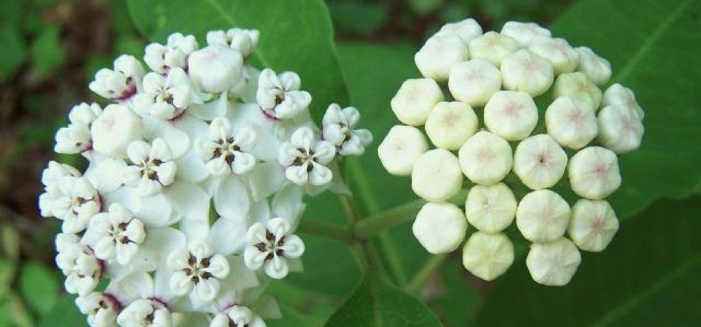 White milkweed (Asclepias variegata) GNPS Asclepias