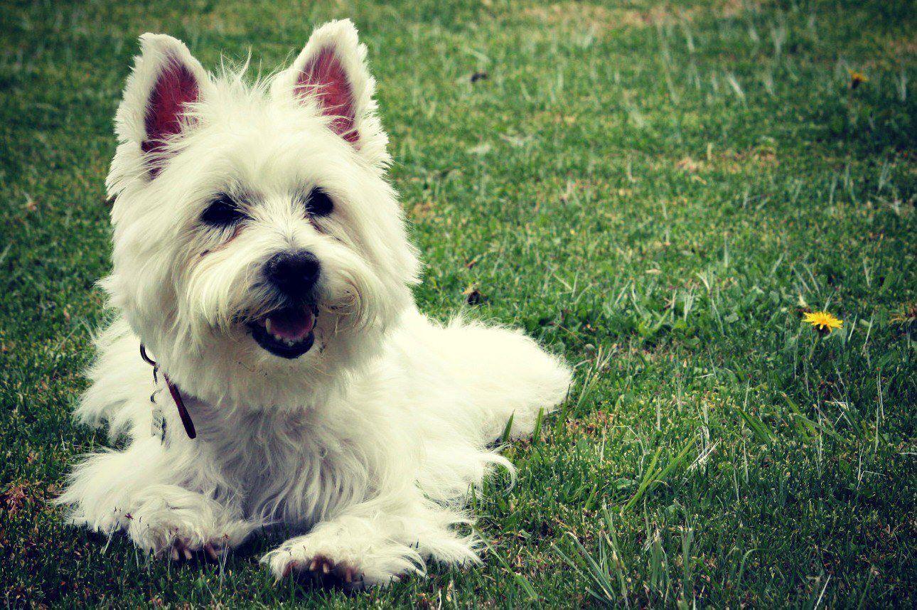 Westie Pitzy Westies, West highland white terrier, White