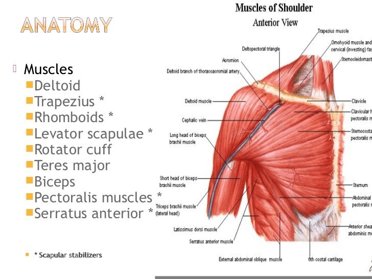 Anterior Rotator Cuff Muscles Diagram Great Installation Of Wiring