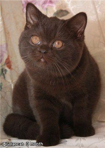 Cute British Shorthair Cats Cat Love