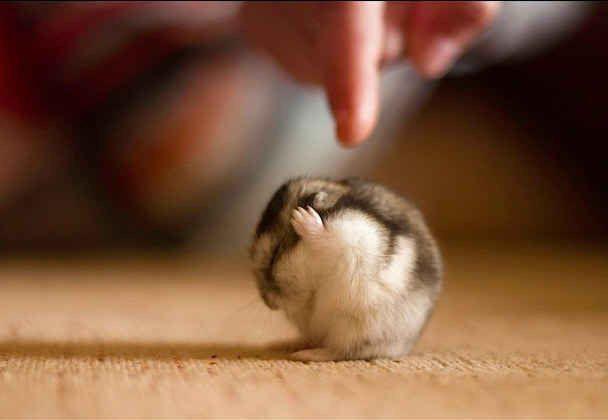 Little hamster ☄ #animals