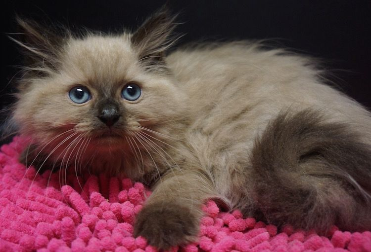 seal mink cinnamon carrier ragdoll Ragdoll kitten, Cats