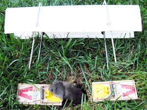 how to get rid of voles before they destroy your yard and drive you rh pinterest com