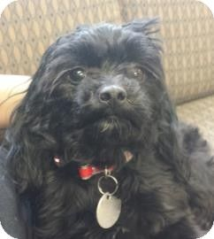 Adopted Chicago Il Poodle Miniature Shih Tzu Mix Meet