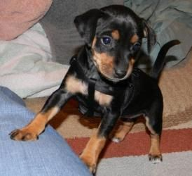 Chloe Is An Adopted Miniature Pinscher Dog In Jackson Ms Chloe Is