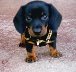 Http Puppydogweb Com Gallery Dachshunds Dachshund Ashley Jpg