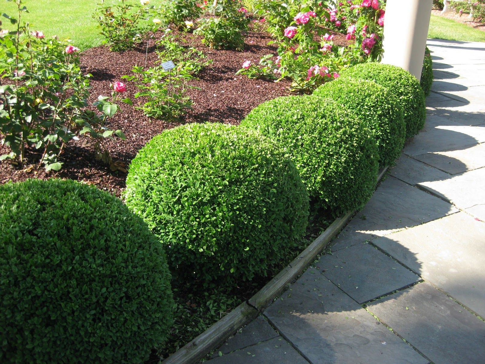 Magnificent japanese boxwood shrubs ideas http www for Green bushes for landscaping