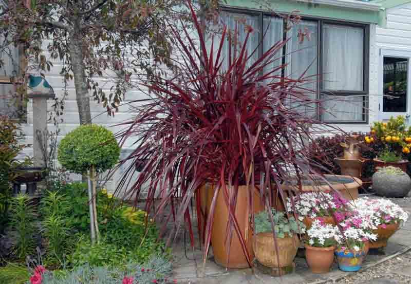Festival burgundy cordyline with topiary tree lemon tree for Easy care plants for pots