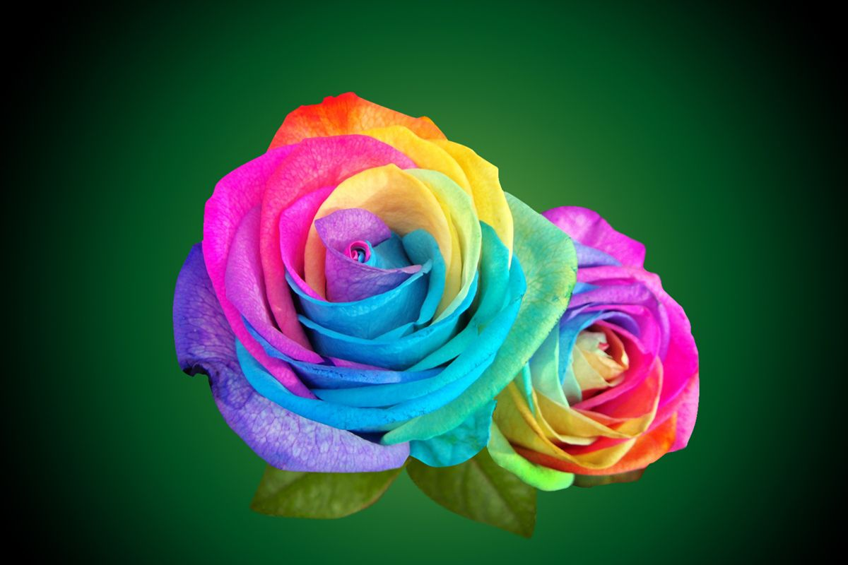 Multicolor Rainbow Roses With Green Leaves Wallpaper Rainbow