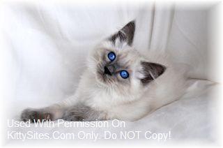 Balinese Cat Kitten Website Listings At Kittysites Com