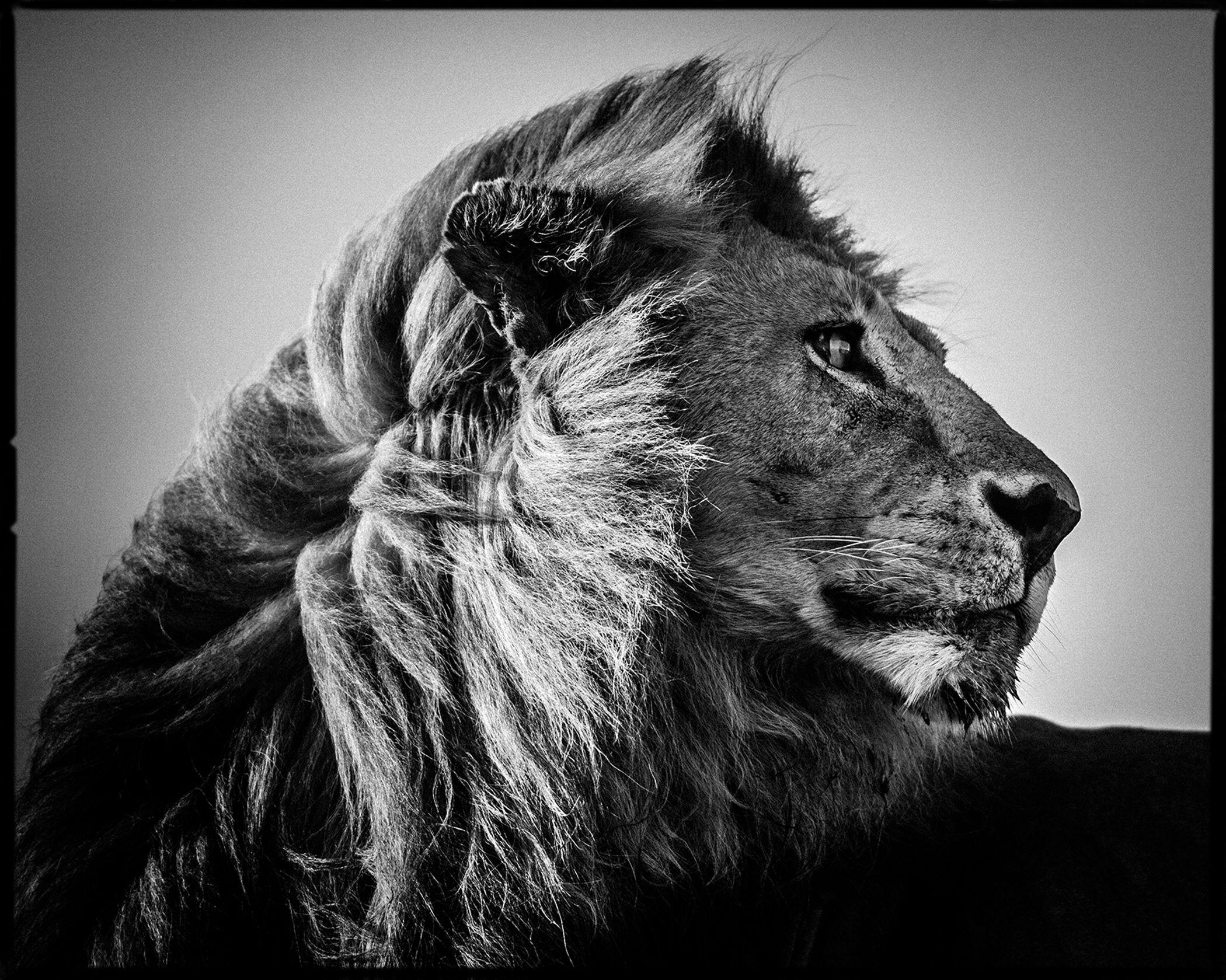 lion in the wind 3 laurent baheux photos tableaux. Black Bedroom Furniture Sets. Home Design Ideas