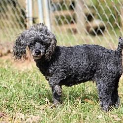 Available Pets At Carolina Poodle Rescue In Spartanburg North Carolina In 2020 Poodle Rescue