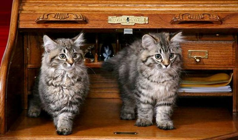 7 Facts About American Bobtail Cats You Have To Know ...