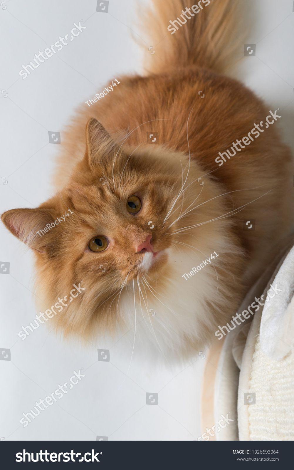 Portrait Of Beautiful White And Orange Long Haired Norwegian