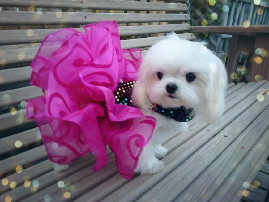 I Am So Pretty Maltese Dogs Maltese Puppy Dog Breeds That