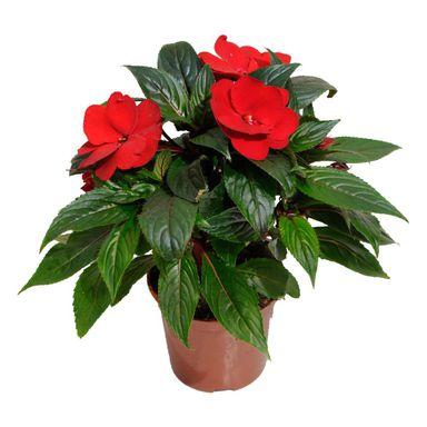Niecierpek Nowogwinejski Mix 15 30 Cm Kwiaty Balkonowe I Ogrodowe W Atrakcyjnej Cenie W Sklepach Leroy Merlin Plants