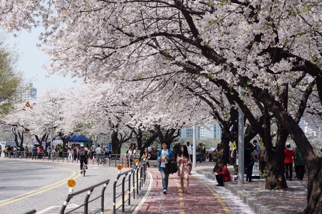 Top 5 Cherry Blossom Festivals In South Korea In 2017 Seoul South Korea Travel Cherry Blossom