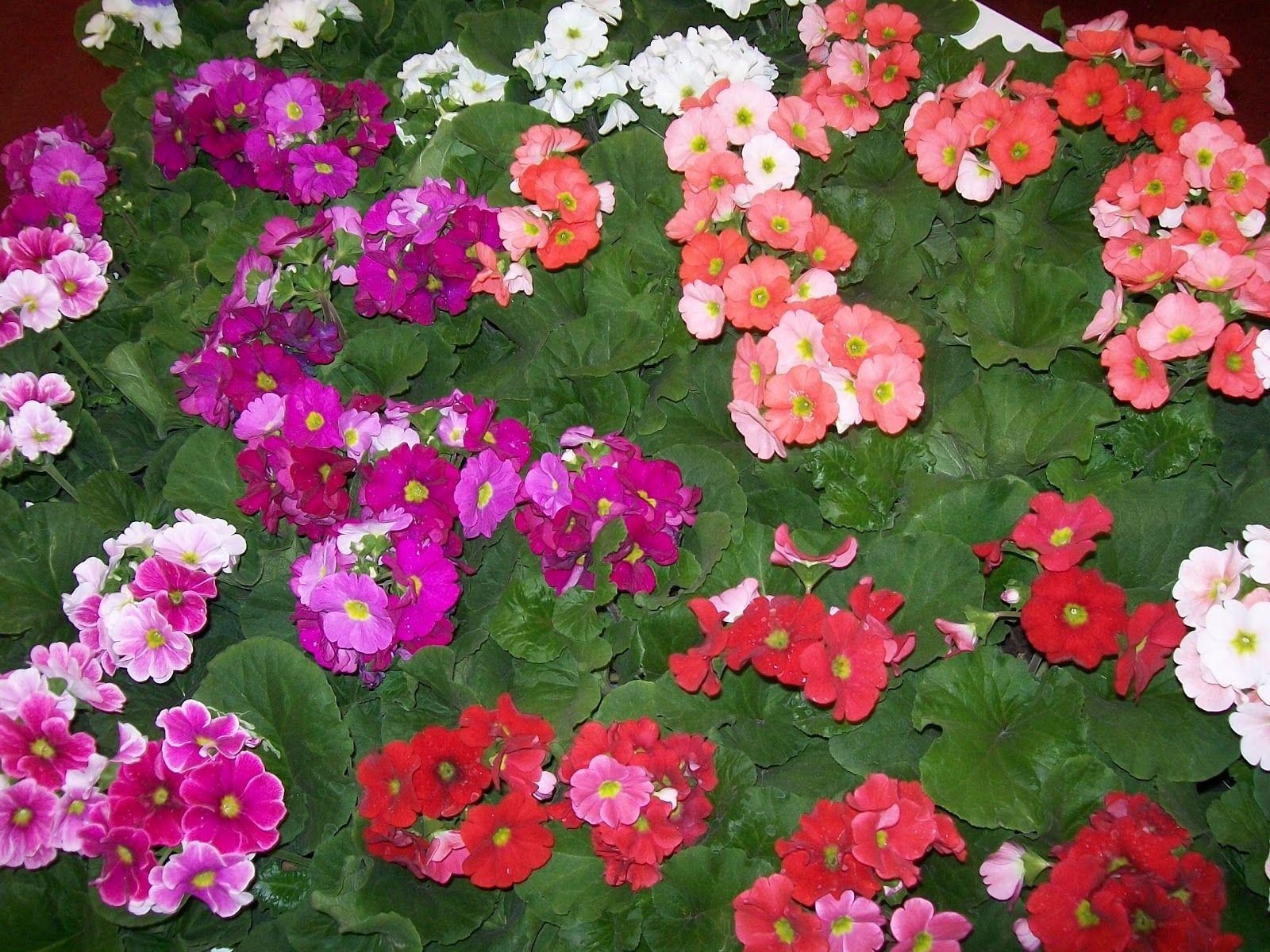 Plantas anuales que florecen en verano plantas - Plantas perennes exterior ...