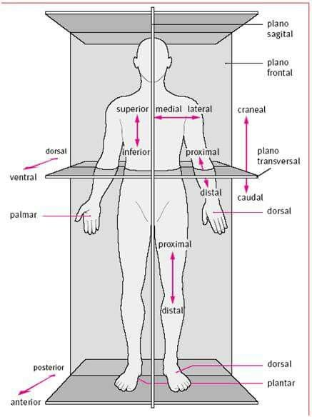 The body in situ, anatomical correct position when studying anatomy ...