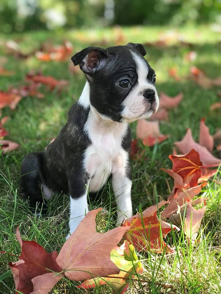 Little Archie From Elora Ontario Boston Terrier Cute Puppy
