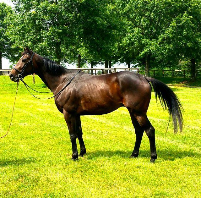 Caspian Sea Thoroughbred Sport Horse   2333 Alexandra Drive