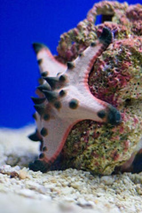 Chocolate Chip Starfish Chocolate Chip Starfish Saltwater Aquarium Fish Ocean Creatures