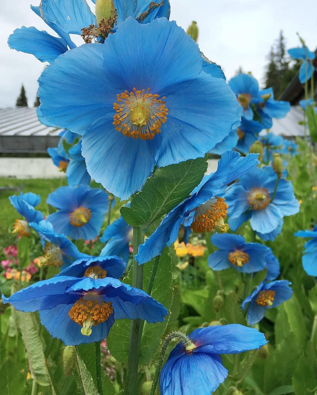 Cannot Get Over The Color Of These Himalayan Blue Poppies A Rare