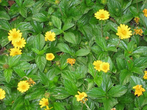 Bad Luck With Hibiscus Yellow Flower Ground Cover