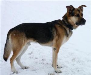 Dakota Is A Gorgeous 4 Yaer Old German Shepherd Dog In Duluth Mn