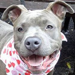 Hope is an adoptable Pit Bull Terrier Dog in Glen Cove, NY. (** This DOG is not at BARC Animal Shelter in Brooklyn - This animal is housed at Deja Foundation/West Isle in Glen Cove, NY - For more info...