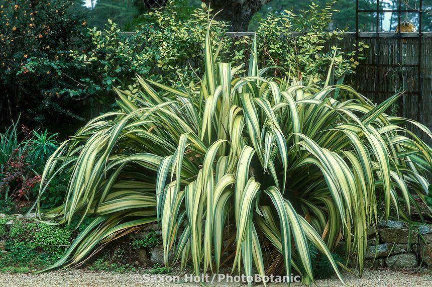 Phormium Cream Delight Variegated New Zealand Flax In Container In Garden Garden Design Beautiful Gardens Backyard