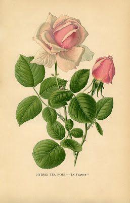 """Pink Tea Rose """"La France"""" - Botanical plate from a vintage garden book (c. 1890s)"""
