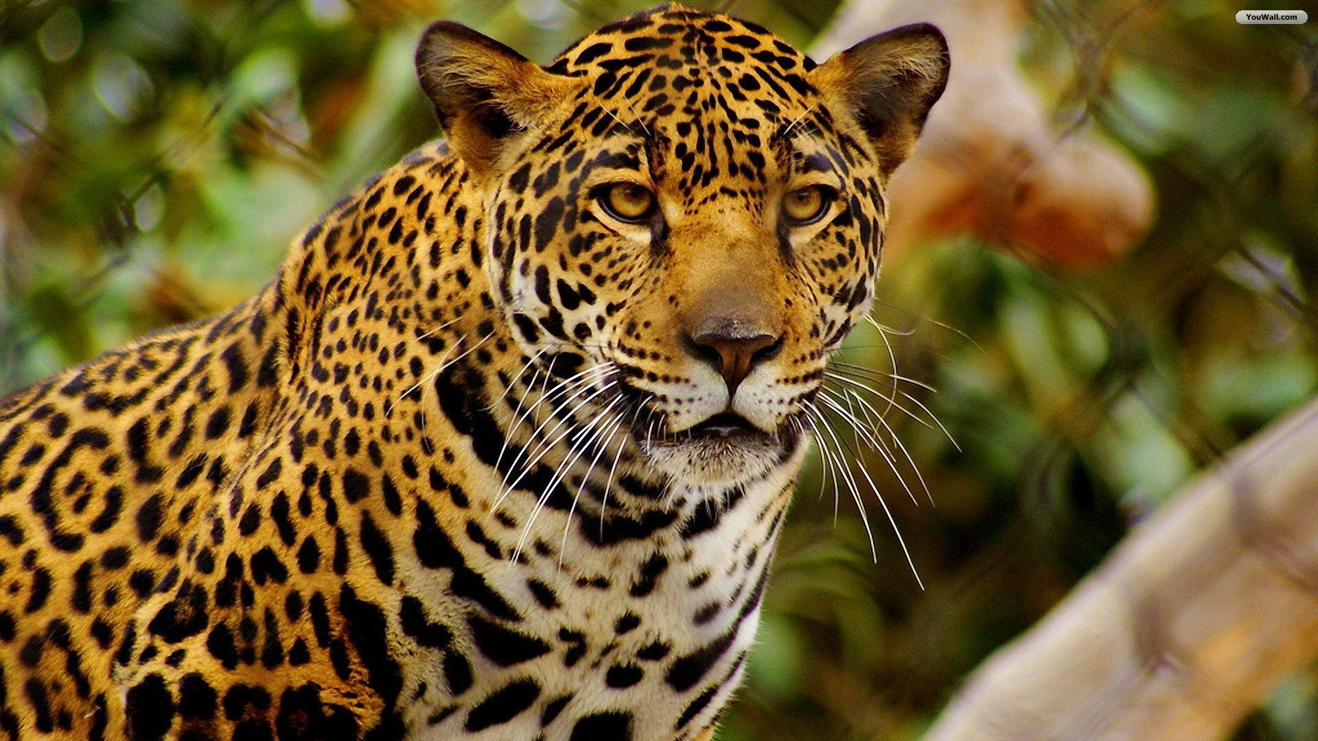 jaguar | my passions (animals, photography, nature, places