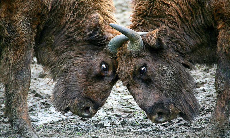 Wildrinder: Wiederkehr der Wisente - Beobachter