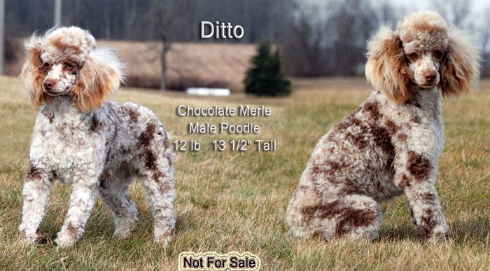 Windy Hills Ditto Windy Hill Kennel Ohio Schnoodle Kennel