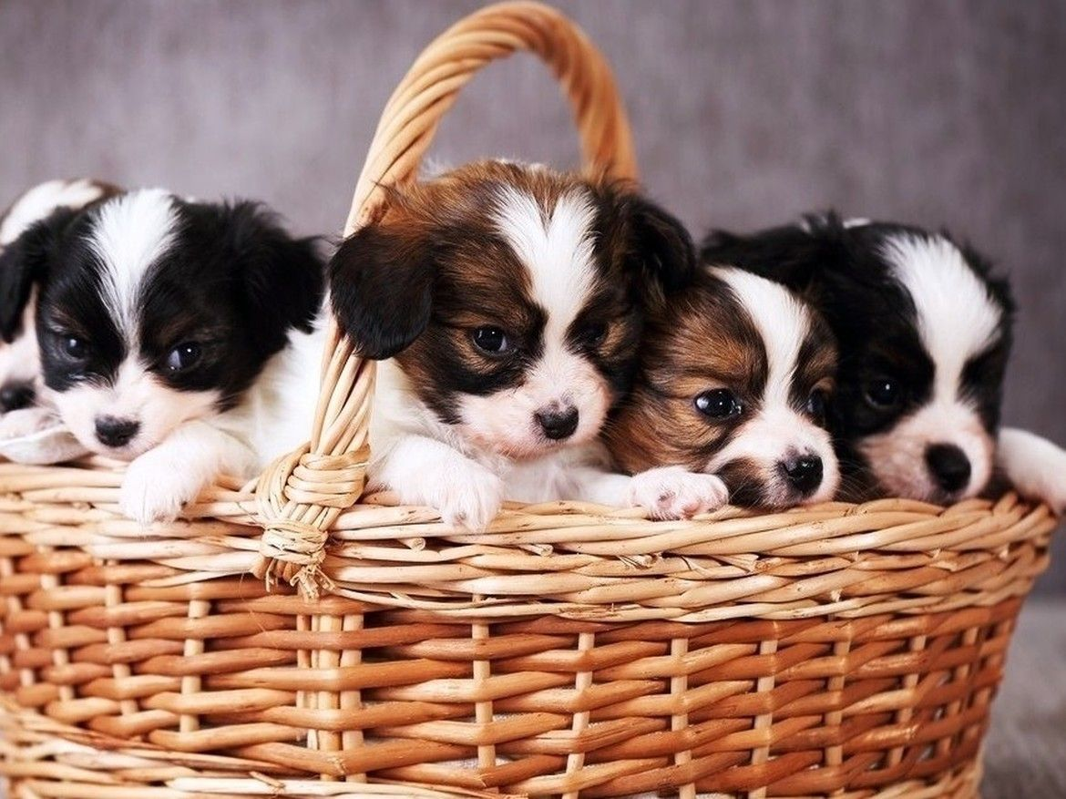 Puppies for Sale Puppy Stores in Phoenix and Tucson