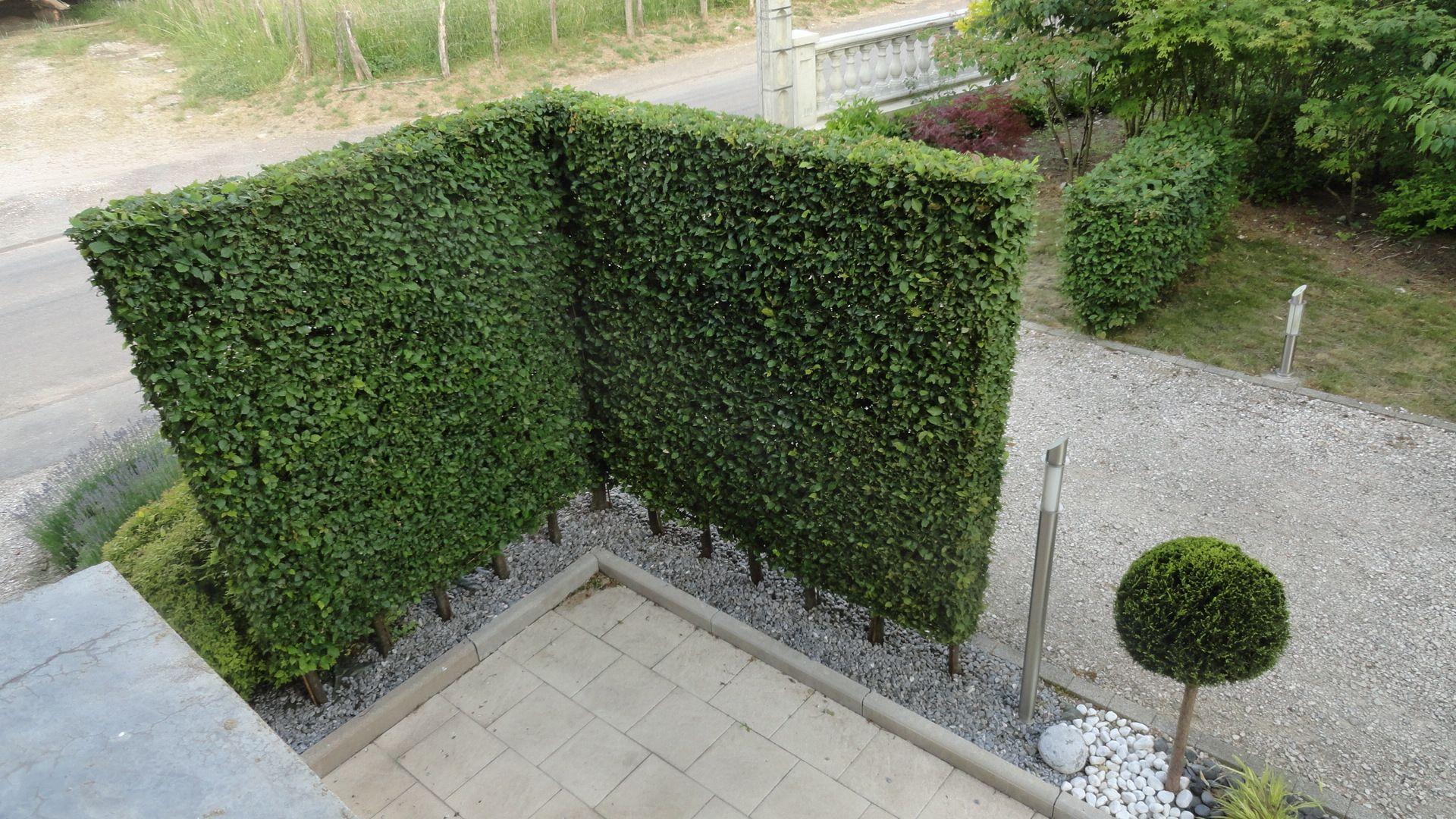 haie de charmille carpinus betulus ht 2 50 lg 20 cm