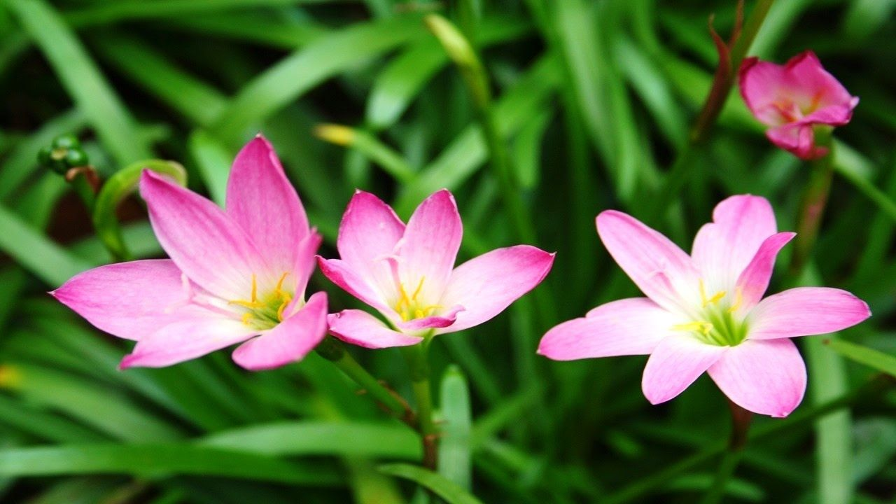 Top 10 colorful rain lily flower ever you seen amazing flowers top 10 colorful rain lily flower ever you seen amazing flowers videohd izmirmasajfo