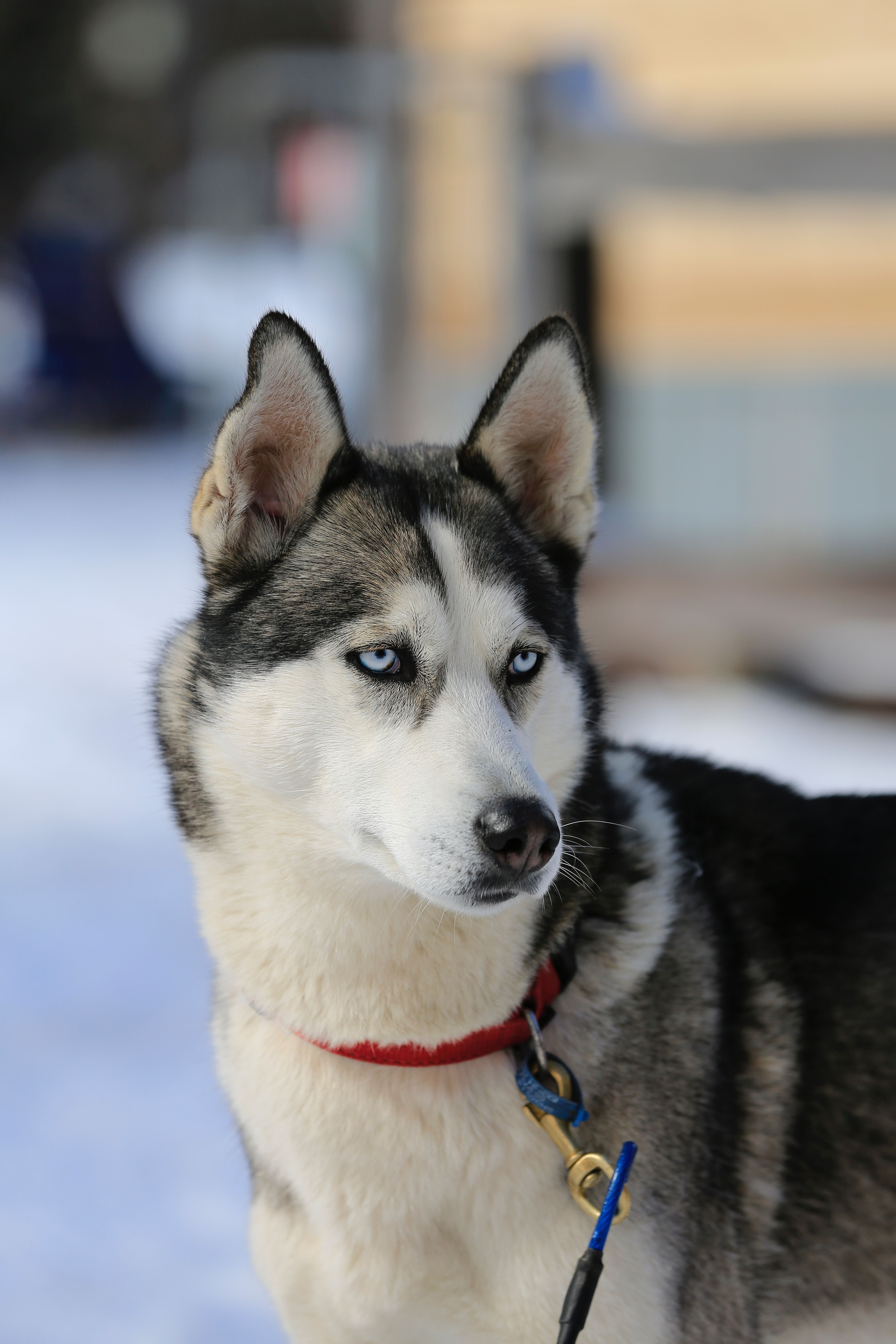 The Complete Guide To Running With Your Husky In 2020 Dog Breeds