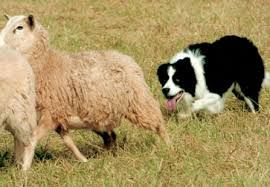 Image Result For Working Sheepdogs Collie Working Dogs Border