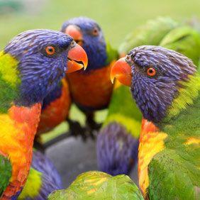Australian Rainforest Locations Australian Rainbow Lorikeet  Discover Nature And Wildlife At The