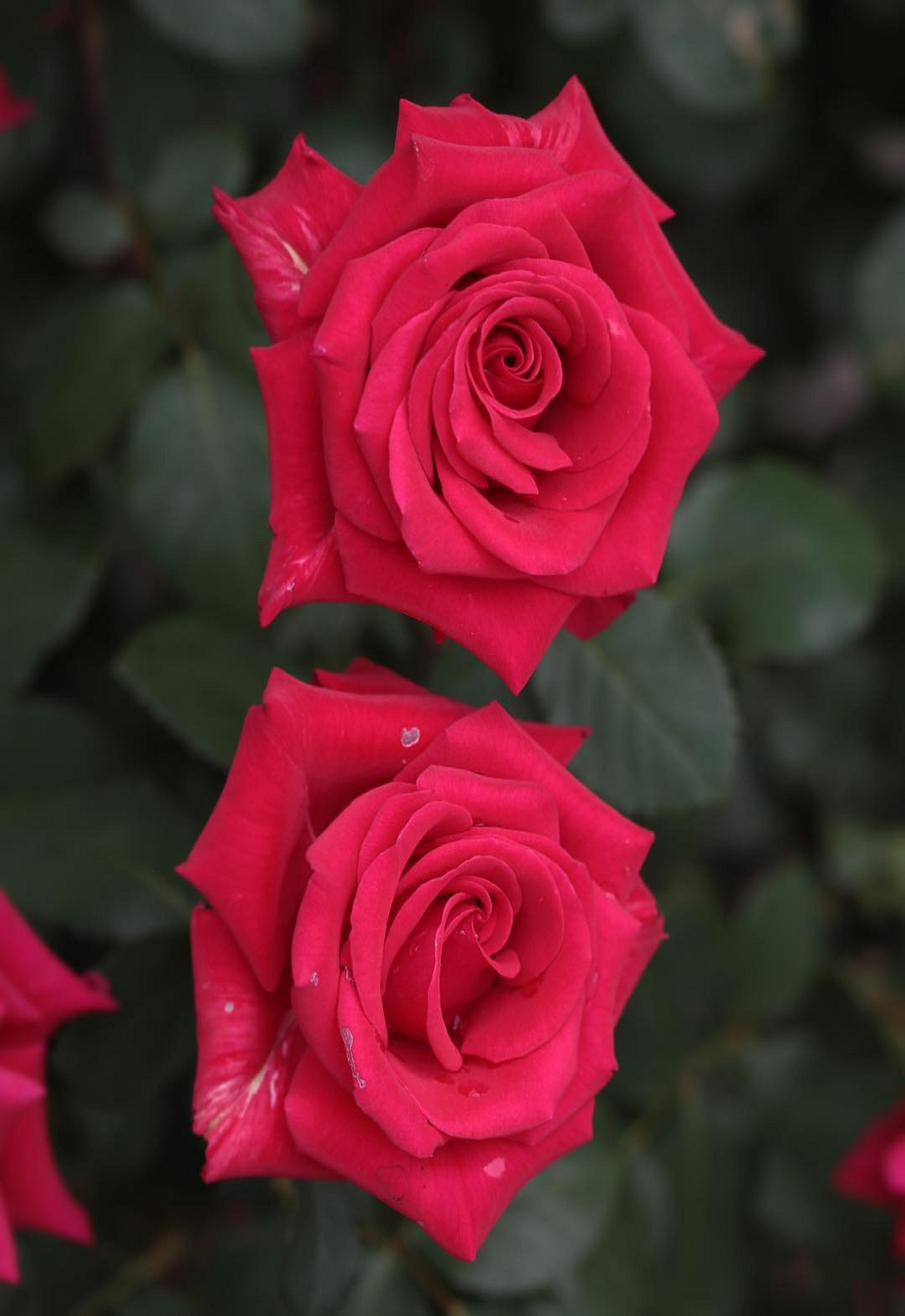 Pin by ivanka kostova on растения Pink garden, Beautiful