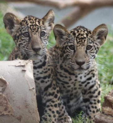 Explore Bebê Jaguar, Filhotes De Urso E Muito Mais!