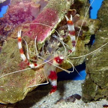 Banded Coral Shrimp Good Info Note To Self These Guys Are Aggressive During Molting Marine Fish Tanks Saltwater Aquarium Beginner Saltwater Fish Tanks