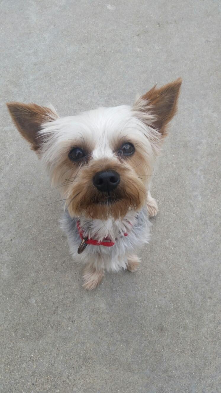 Meet Chloe A Petfinder Adoptable Yorkshire Terrier Yorkie Dog Paris Il Chloe Is A 2 Year Old Yorki She Was Surrend Yorkie Yorkie Dogs Yorkshire Terrier