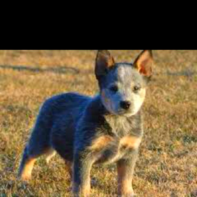 Blue Heeler Baby Healer Love Australian Cattle Dog Puppy Austrailian Cattle Dog Dogs Puppies