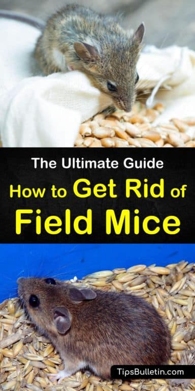 8 Smart Ways To Get Rid Of Field Mice