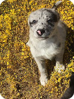 Studio City Ca Australian Shepherd Border Collie Mix Meet
