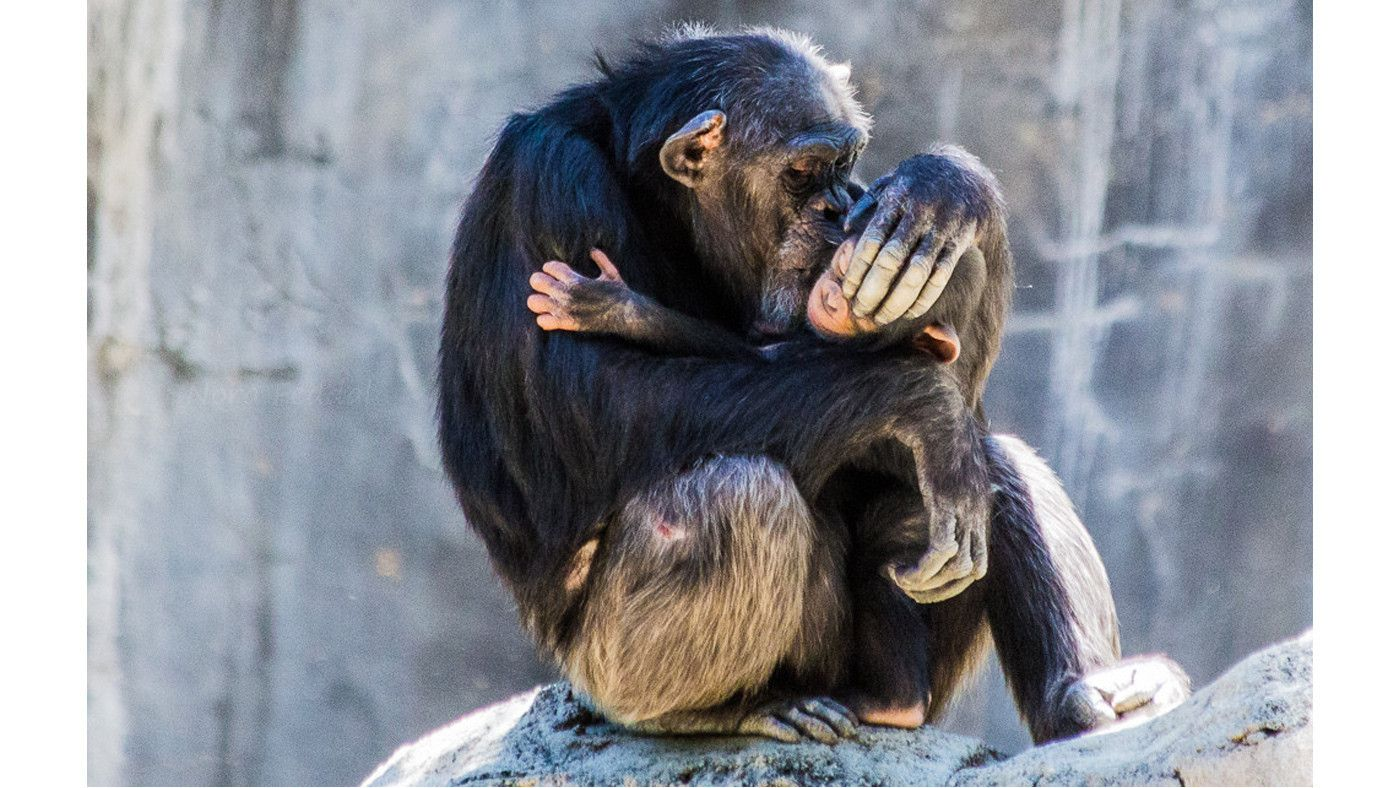 Reader Photo Chimp Love At The L A Zoo Los Angeles Zoo Chimp Zoo