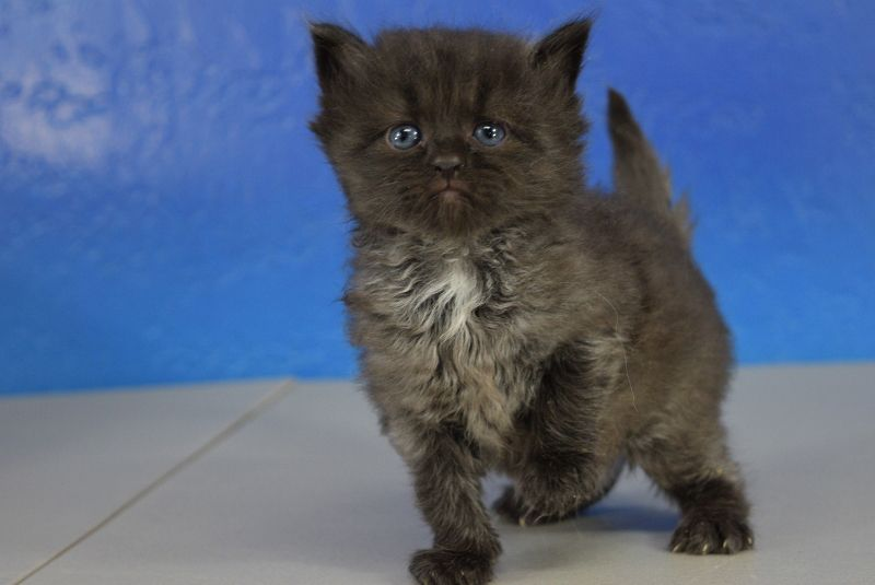 Melanie black solid female ragamuffin kitten
